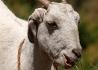 Koza srílanská