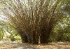 Bambus v trsech